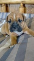 Olde English Bulldogge Puppies for sale in Hesperia, MI 49421, USA. price: NA