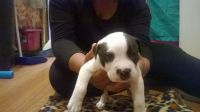 Olde English Bulldogge Puppies for sale in Grand Junction, TN 38039, USA. price: NA