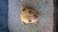 Olde English Bulldogge Puppies for sale in San Antonio, TX, USA. price: NA