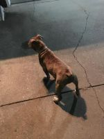 Olde English Bulldogge Puppies for sale in Omaha, NE, USA. price: NA