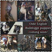 Olde English Bulldogge Puppies for sale in Sacramento, CA, USA. price: NA