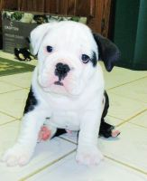 Olde English Bulldogge Puppies for sale in Chicago, IL, USA. price: NA