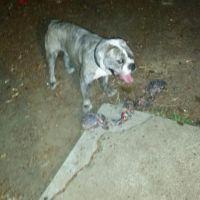 Olde English Bulldogge Puppies for sale in Port Orchard, WA, USA. price: NA