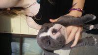 Olde English Bulldogge Puppies for sale in Norfolk, VA, USA. price: NA