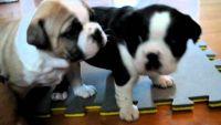 Olde English Bulldogge Puppies for sale in Beaver Creek, CO 81620, USA. price: NA