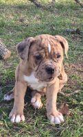 Olde English Bulldogge Puppies for sale in Austin, TX, USA. price: NA