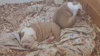 Olde English Bulldogge Puppies for sale in Bardwell, KY 42023, USA. price: NA