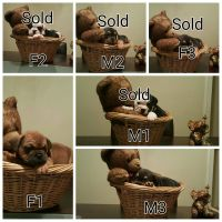 Olde English Bulldogge Puppies for sale in Strongsville, OH, USA. price: NA