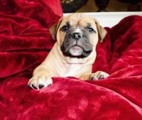 Olde English Bulldogge Puppies for sale in St. Louis, MO, USA. price: NA