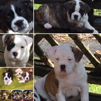 Olde English Bulldogge Puppies for sale in Florence, SC, USA. price: NA