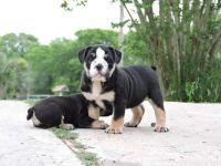 Olde English Bulldogge Puppies for sale in Houston, TX, USA. price: NA