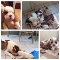 Olde English Bulldogge Puppies for sale in Isle of Wight, VA, USA. price: NA