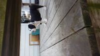 Olde English Bulldogge Puppies for sale in New York, NY, USA. price: NA