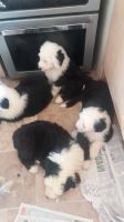 Olde English Bulldogge Puppies for sale in Los Angeles, CA, USA. price: NA