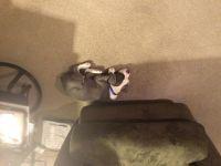 Olde English Bulldogge Puppies for sale in Neenah, WI 54956, USA. price: NA