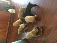 Olde English Bulldogge Puppies for sale in Valley City, OH 44280, USA. price: NA
