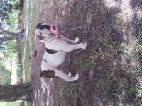 Olde English Bulldogge Puppies for sale in Needville, TX 77461, USA. price: NA