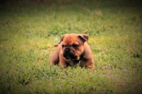Olde English Bulldogge Puppies for sale in Colonial Heights, VA 23834, USA. price: NA