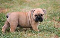 Olde English Bulldogge Puppies for sale in Prince George, VA, USA. price: NA