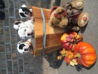 Olde English Bulldogge Puppies for sale in Rockwood, PA 15557, USA. price: NA