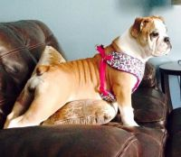 Olde English Bulldogge Puppies for sale in New Haven, MI 48048, USA. price: NA