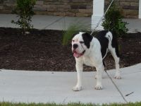 Olde English Bulldogge Puppies for sale in Hope Mills, NC, USA. price: NA