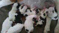 Olde English Bulldogge Puppies for sale in Arco, ID 83213, USA. price: NA