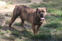 Olde English Bulldogge Puppies for sale in Brandywine, MD 20613, USA. price: NA