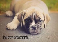 Olde English Bulldogge Puppies for sale in Marlette, MI 48453, USA. price: NA