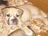 Olde English Bulldogge Puppies for sale in Stockton, CA, USA. price: NA