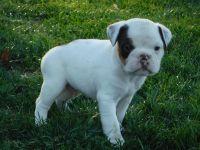 Olde English Bulldogge Puppies for sale in Alberta Ave, Staten Island, NY 10314, USA. price: NA