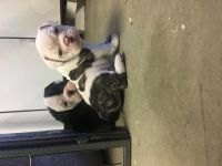 Olde English Bulldogge Puppies for sale in Upland, CA 91784, USA. price: NA