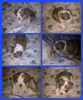 Olde English Bulldogge Puppies for sale in Lubbock, TX, USA. price: NA