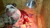Olde English Bulldogge Puppies for sale in Aledo, IL 61231, USA. price: NA