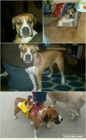 Olde English Bulldogge Puppies for sale in Dayton, OH, USA. price: NA