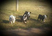 Olde English Bulldogge Puppies for sale in Shawnee, OK, USA. price: NA
