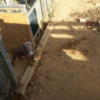 Olde English Bulldogge Puppies for sale in Cheverly, MD, USA. price: NA