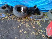 Olde English Bulldogge Puppies for sale in Pittsburgh, PA, USA. price: NA