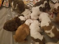 Olde English Bulldogge Puppies for sale in Long Beach, CA, USA. price: NA