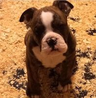 Olde English Bulldogge Puppies for sale in Dearborn Heights, MI, USA. price: NA