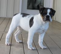 Olde English Bulldogge Puppies for sale in Quarryville, PA 17566, USA. price: NA
