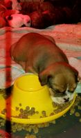 Olde English Bulldogge Puppies for sale in Evansville, IN, USA. price: NA