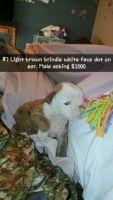 Olde English Bulldogge Puppies for sale in Coolidge, AZ, USA. price: NA