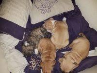 Olde English Bulldogge Puppies for sale in Phoenix, AZ, USA. price: NA