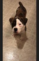 Olde English Bulldogge Puppies for sale in Finlayson, MN 55735, USA. price: NA