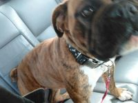 Olde English Bulldogge Puppies for sale in Childress, TX 79201, USA. price: NA