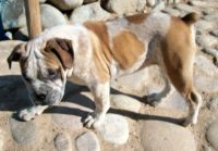 Olde English Bulldogge Puppies for sale in Dixon, NM, USA. price: NA