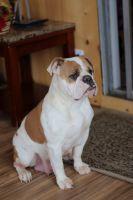 Olde English Bulldogge Puppies for sale in Seattle, WA, USA. price: NA