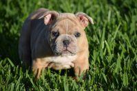 Olde English Bulldogge Puppies for sale in Orlando, FL, USA. price: NA