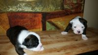 Olde English Bulldogge Puppies for sale in Powell, OH 43065, USA. price: NA